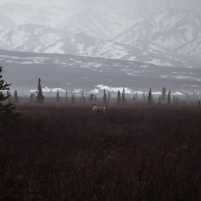 """""""Caribou in Denali"""" stock image"""