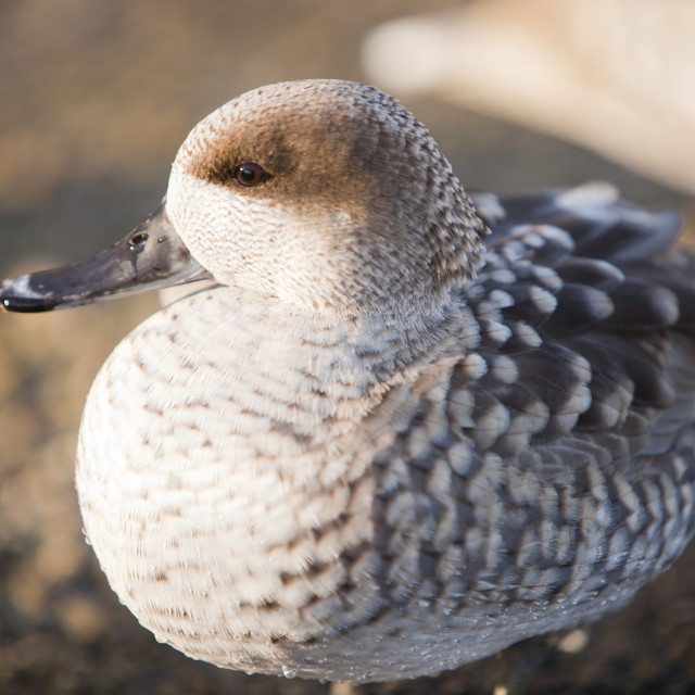 """""""A Marbled Teal at Martin Mere bird reserve near Ormskirk, Lancashire, UK."""" stock image"""