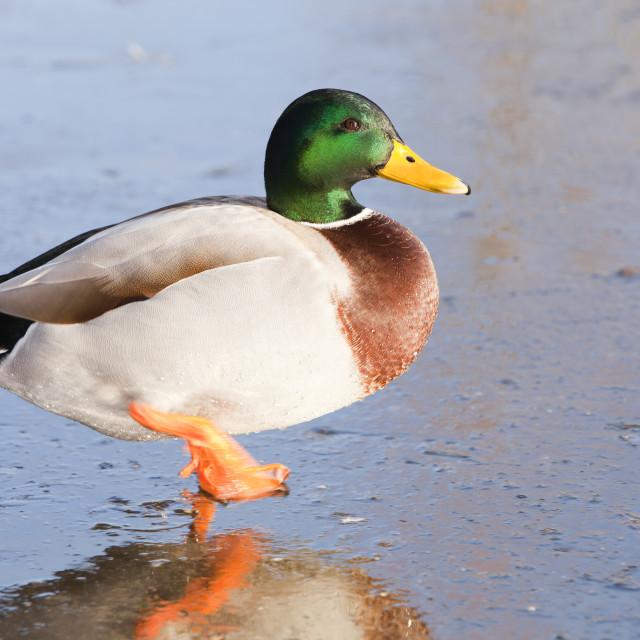 """A male Mallard on ice at Martin Mere bird reserve near Ormskirk, Lancashire, UK."" stock image"
