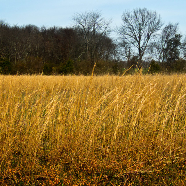 """Amber Waves of Grain"" stock image"