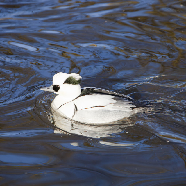 """""""A male Smew at Martin Mere bird reserve near Ormskirk, Lancashire, UK."""" stock image"""