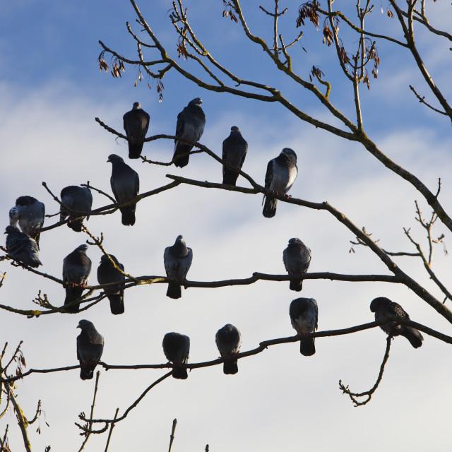 """Feral Pigeons at Martin Mere bird reserve near Ormskirk, Lancashire, UK."" stock image"