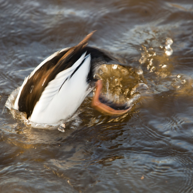 """""""A male Common Goldeneye at Martin Mere bird reserve near Ormskirk,..."""" stock image"""