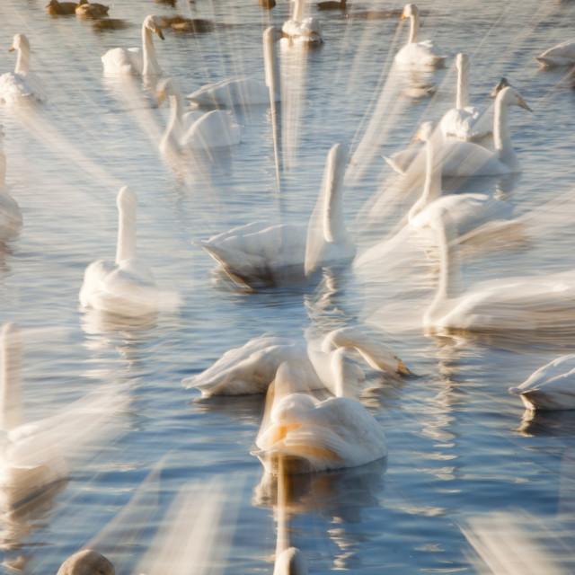 """Whooper Swans at Martin Mere bird reserve near Ormskirk, Lancashire, UK."" stock image"