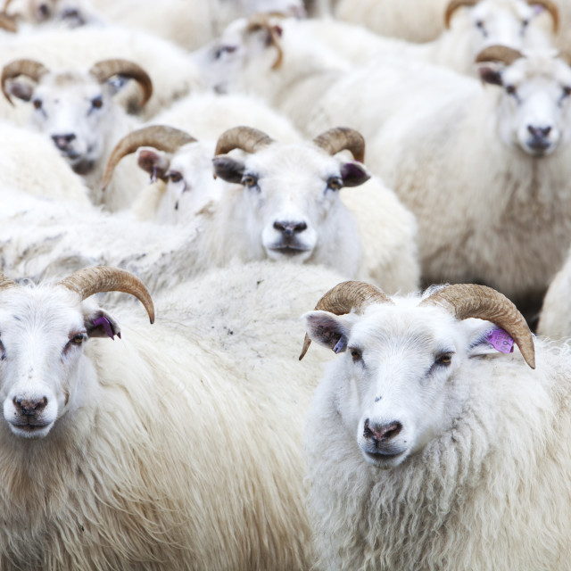 """""""Icelandic sheep in a sheep pen in northern Iceland."""" stock image"""