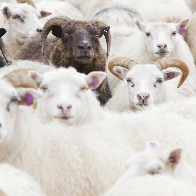 """""""Black sheep amongst white Icelandic sheep."""" stock image"""