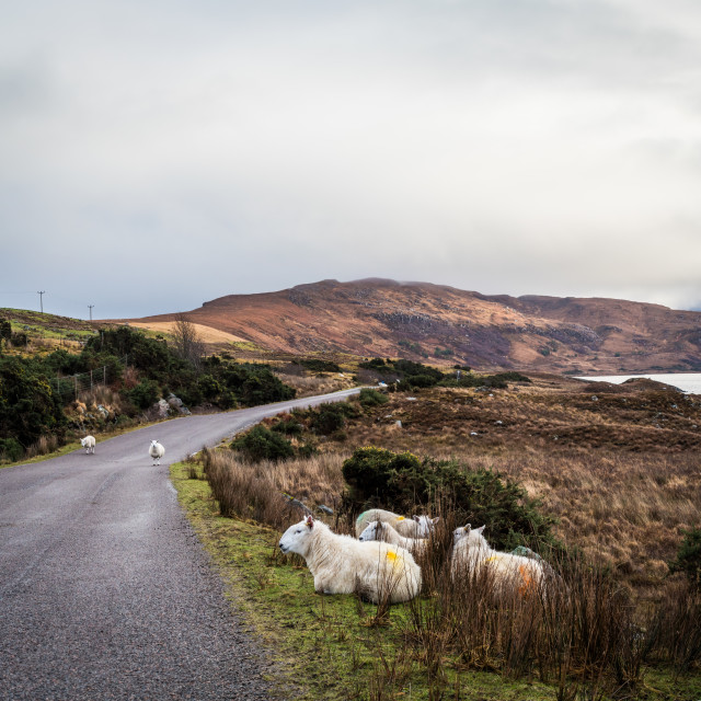 """Sheep on the roadside"" stock image"
