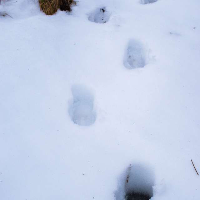 """Footsteps in the snow"" stock image"