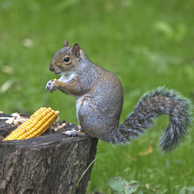"""Grey Squirrel eating sweetcorn"" stock image"