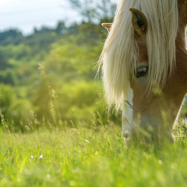 """Horse grazing in a pasture with grass"" stock image"