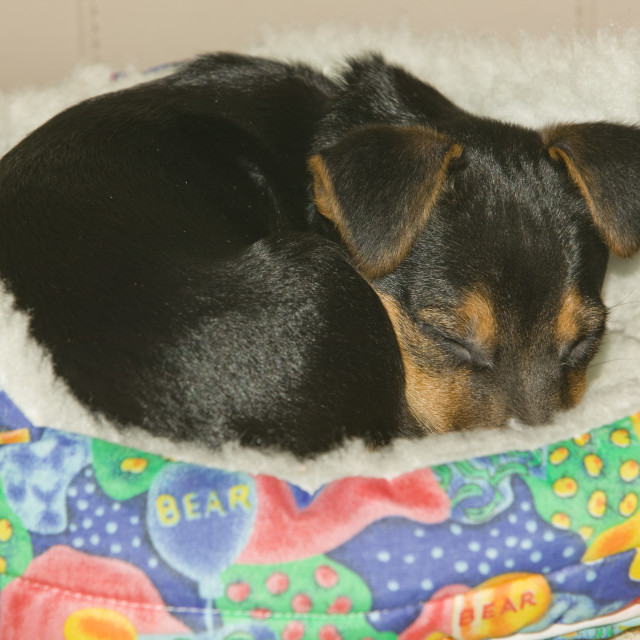 """""""A Jack Russel puppy asleep in his bed"""" stock image"""