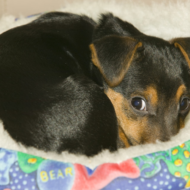 """""""A Jack Russel puppy in his bed"""" stock image"""