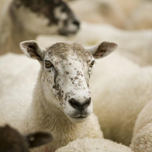 """""""sheep in a pen"""" stock image"""