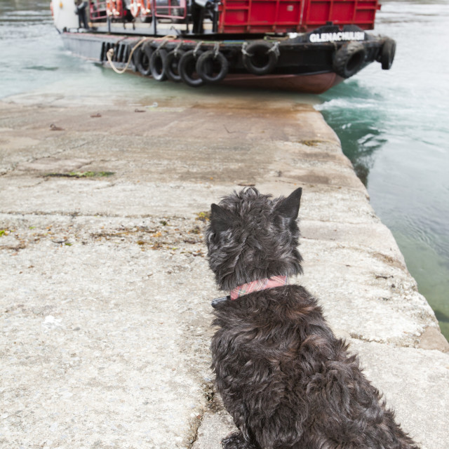 """A Highland terrier waits for the Glenelg ferry to arrive, Isle of skye,..."" stock image"