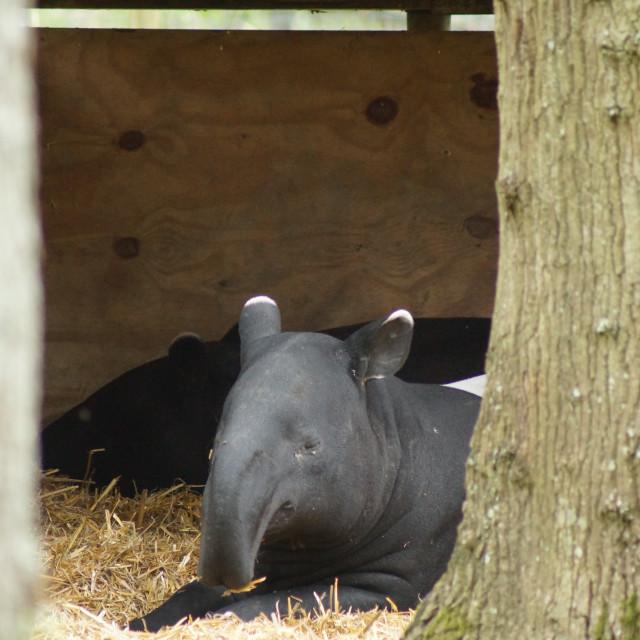 """Malayan Tapir - Tapirus indicus"" stock image"