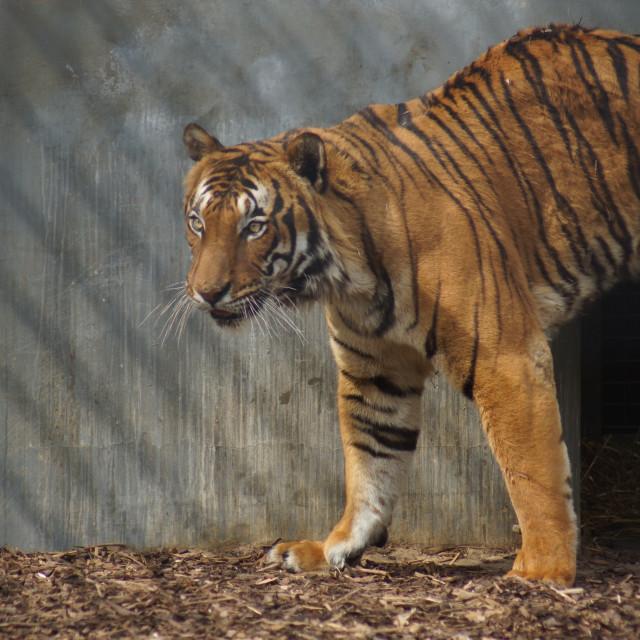 """""""Malayan Tiger - Panthera tigris jacksoni"""" stock image"""