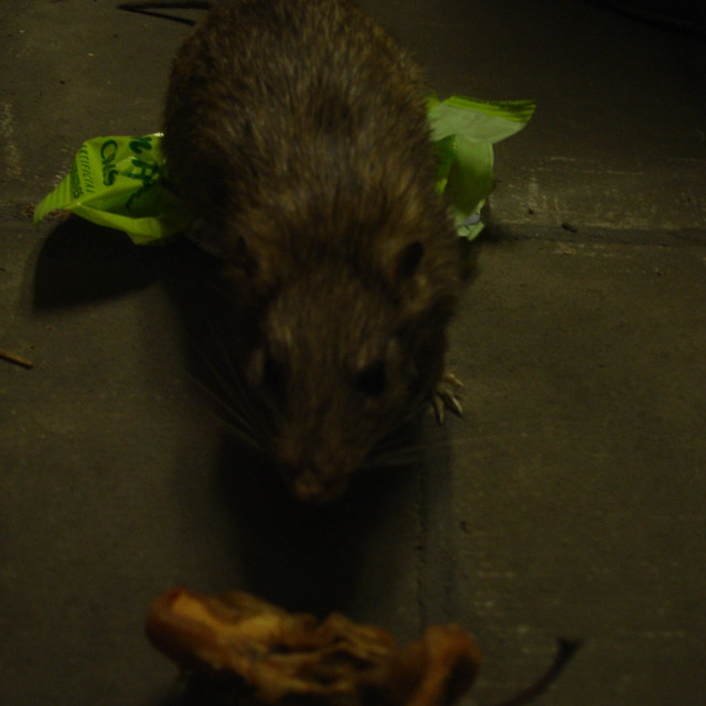 """Brown Rat - Rattus norvegicus"" stock image"