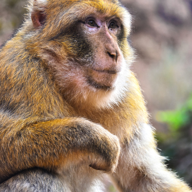 """""""Barbary macaque at the Ouzoud falls in Morocc"""" stock image"""