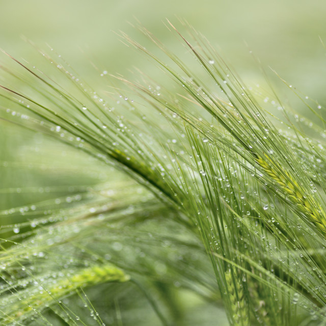"""Barley in the Rain"" stock image"