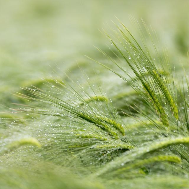 """Sea of Barley"" stock image"