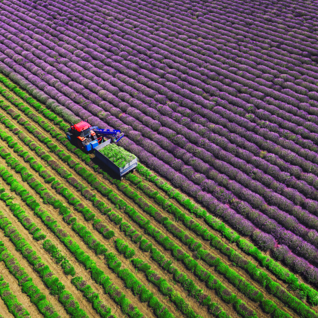 """Aerial view of Tractor harvesting field of lavender"" stock image"