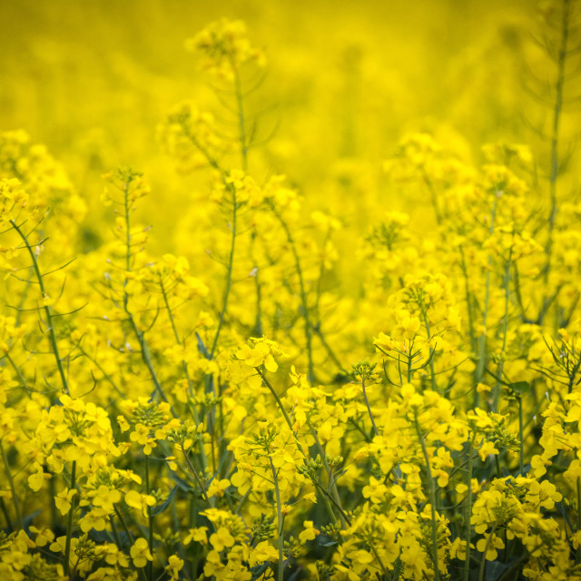 """Yellow oilseed flowers"" stock image"