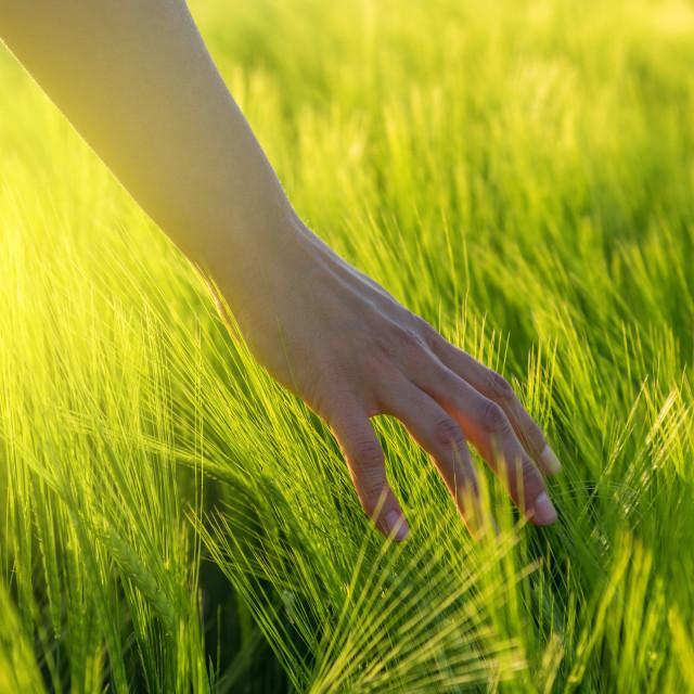 """Woman Farmer Hand touching wheat"" stock image"
