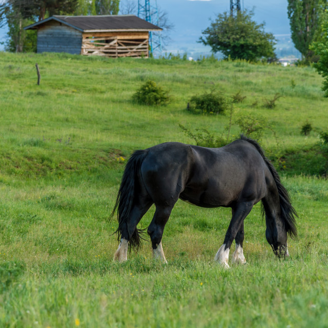 """Friesian horse in the pasture"" stock image"