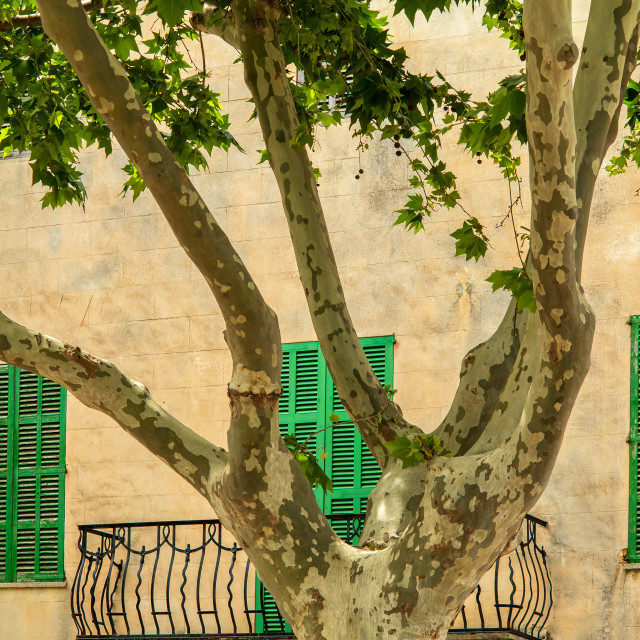 """Architecture and Plane Tree, Alcudia, Mallorca"" stock image"