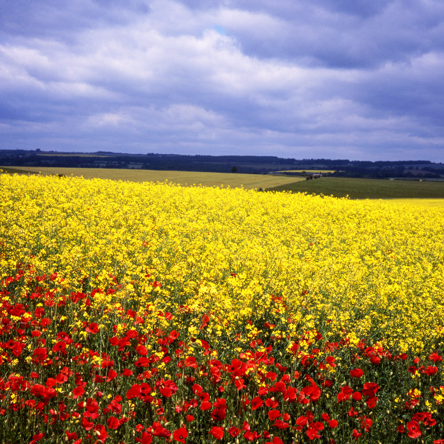 """Poppies and Rape on Cranborne Chase, Dorset"" stock image"