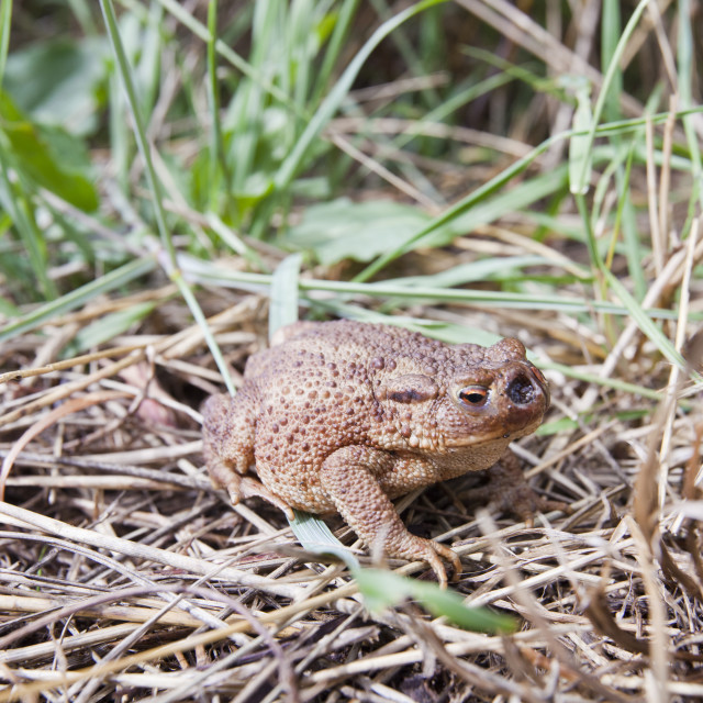 """A toad with an open nasal cavity on coastal saltmarsh, Norfolk, UK."" stock image"
