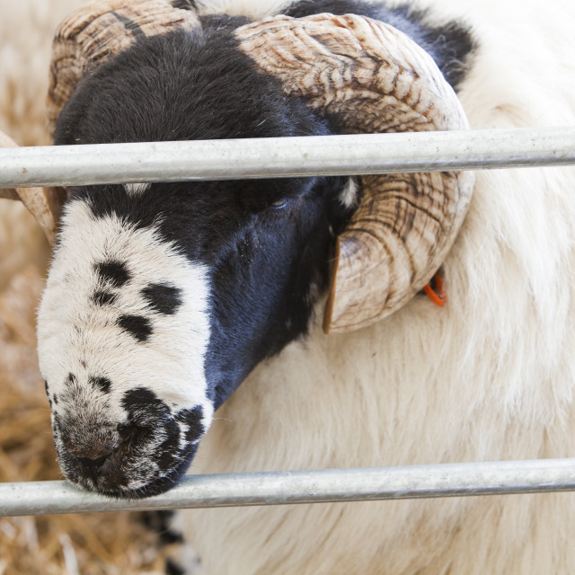 """""""A large ram in a pen."""" stock image"""
