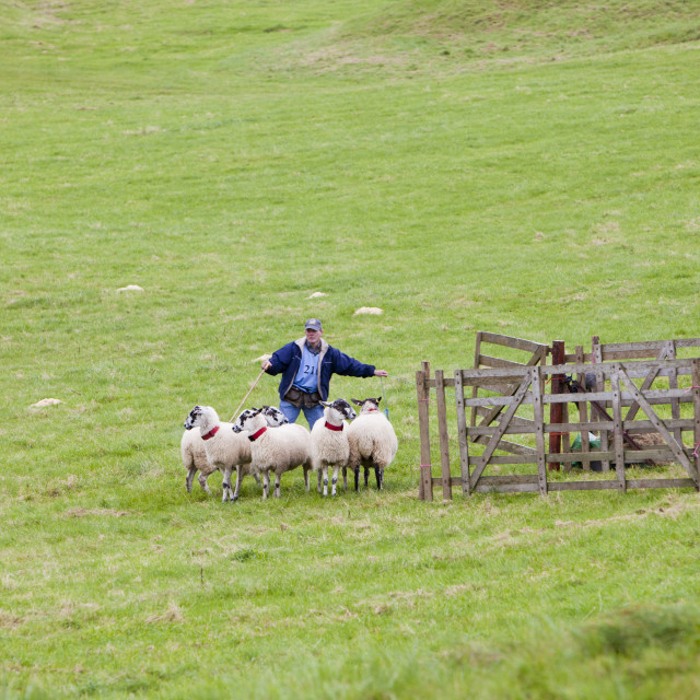 """""""A shepherd entrant competing at the World Sheep Dog Trials at Lowther,..."""" stock image"""