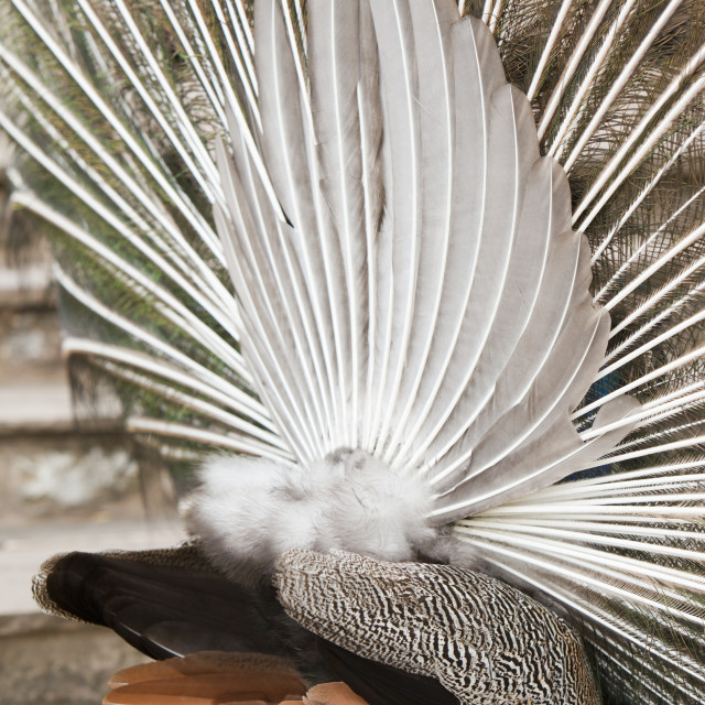 """A male Peacock displaying."" stock image"