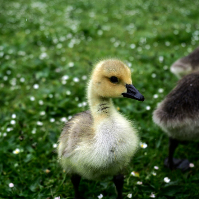 """A friendly gosling"" stock image"