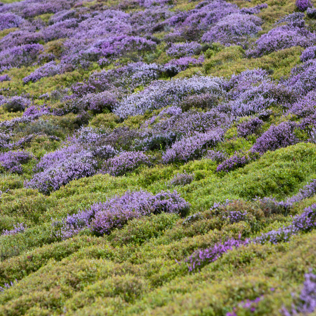 """Heather and bilberry on the Pennycloddiau Hill fort on the Clwydian Hills..."" stock image"