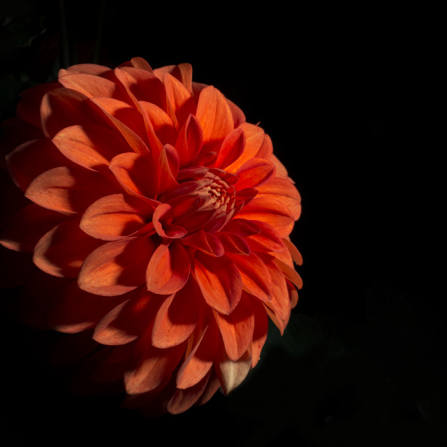 """Red Dahlia flower black background"" stock image"