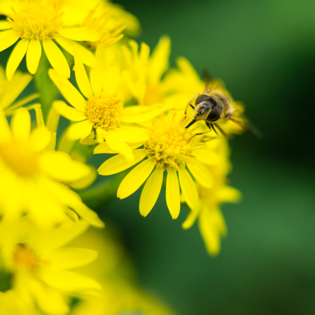 """""""Looking for nectar"""" stock image"""