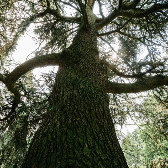 """The tall tree"" stock image"