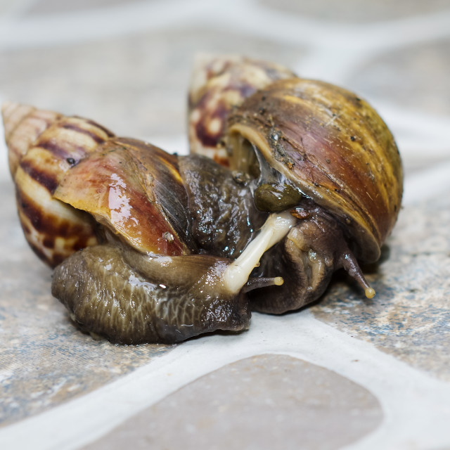 """Closeup of Mating Couple of snails"" stock image"