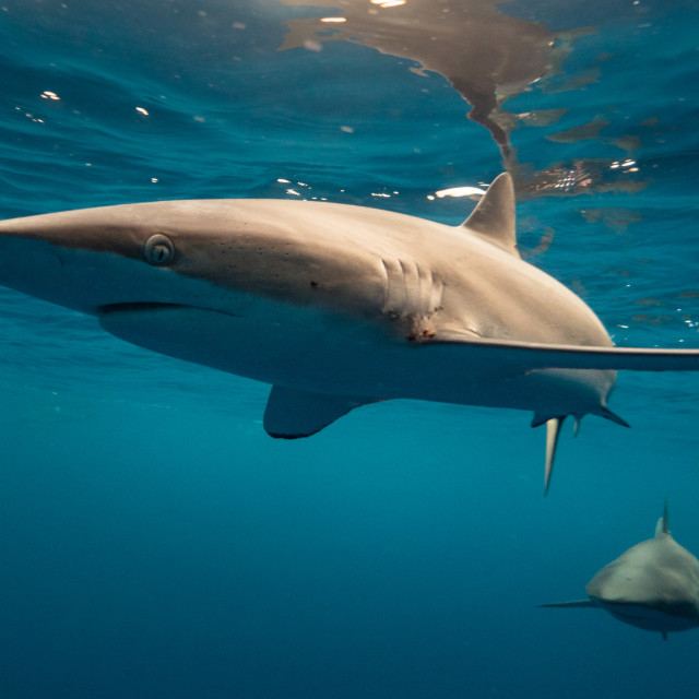 """Smooth silky shark"" stock image"