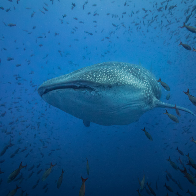"""Make space for the whale shark"" stock image"