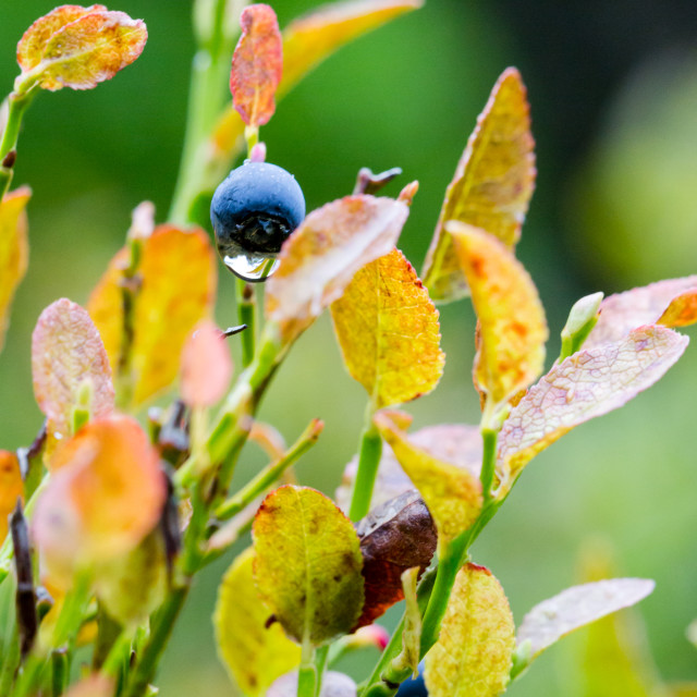 """""""Natural single wild blueberry on branch with drop of water"""" stock image"""