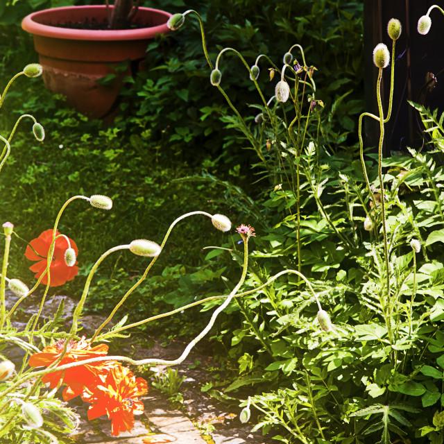 """""""Poppy flowerbed in garden, backlight"""" stock image"""