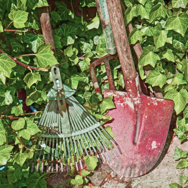 """Garden tools, rakes and spade and rambling ivy"" stock image"