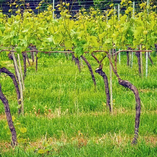 """wine production, wineyard in Germany Wuerttemberg"" stock image"