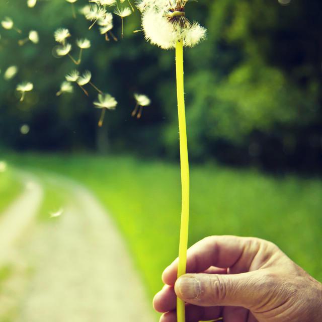 """Blowing dandelion : She loves me, she loves me-not."" stock image"