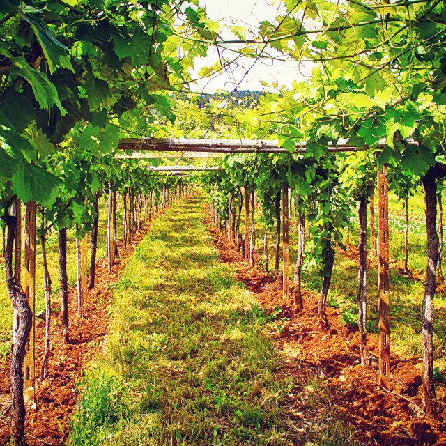 """""""view of vineyard in Italian countryside"""" stock image"""