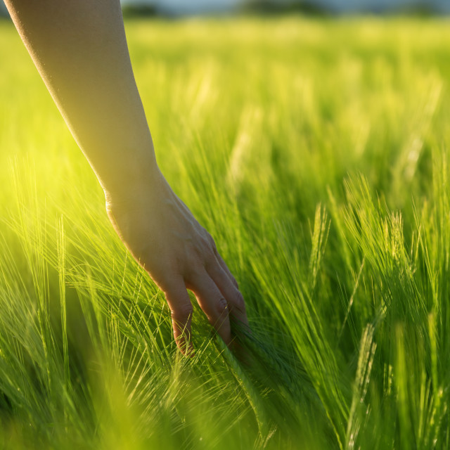 """""""Hand touching crops in field"""" stock image"""
