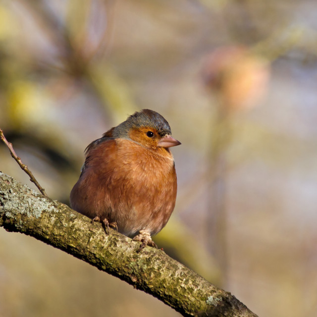 """""""Chaffinch in Sunlight"""" stock image"""